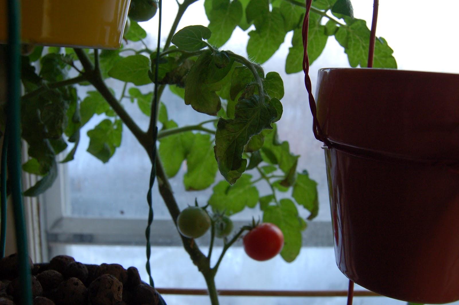 Un an après sa construction mon potager vertical comme je le surnomme affectueusement produit des légumes entièrement organiques que nous pouvons manger