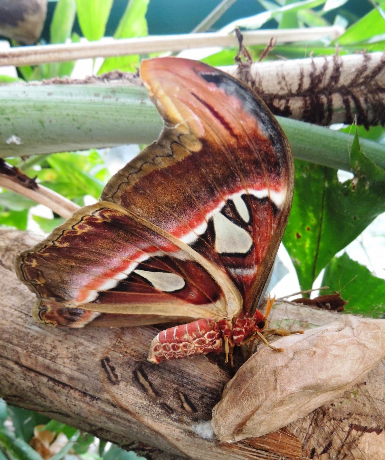 Attacus atlas, reverso
