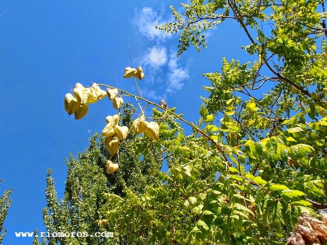 JABONERO DE CHINA: Koelreuteria paniculata