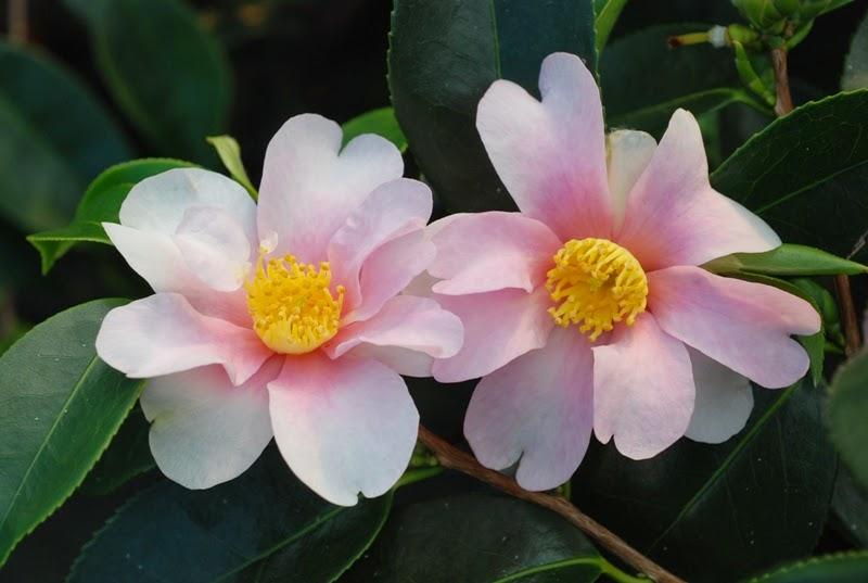 Japanese flowers flowers originating in japan garden park for Flowers for japanese garden