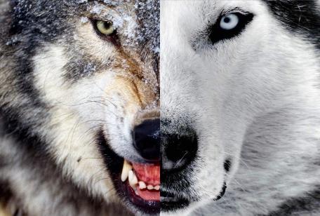 [TESTe] Qual animal você vira quando está com raiva? Dois+Lobos+cherokee+face+close+up+dupla