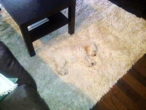 Anjing Dan Karpet