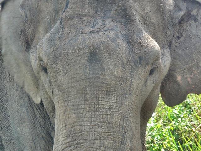 Safari en el Parque Nacional de Udawalawe, mirando a los ojos del elefante asiático