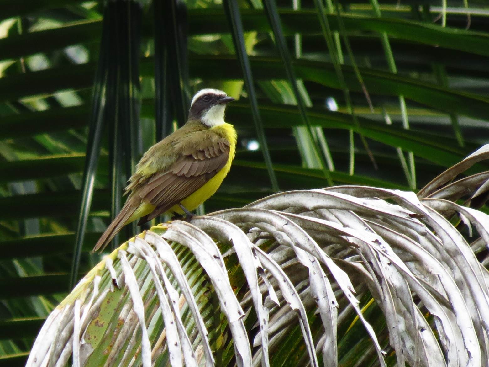 The Social Flycatcher At 63 To 7inches Is Smallest Out Three Flycatchers That Look Similar They Are Great Kiskadee And