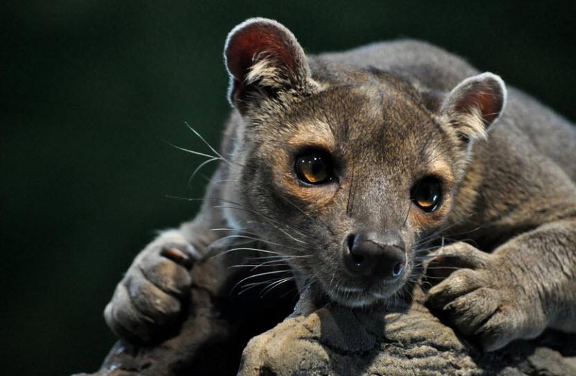 Cat Like Madagascar