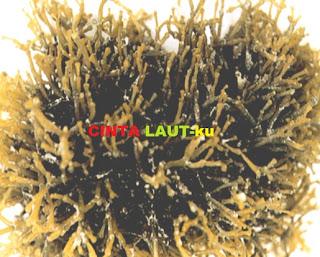 rumput laut gracilaria sp