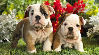 Puppies picture