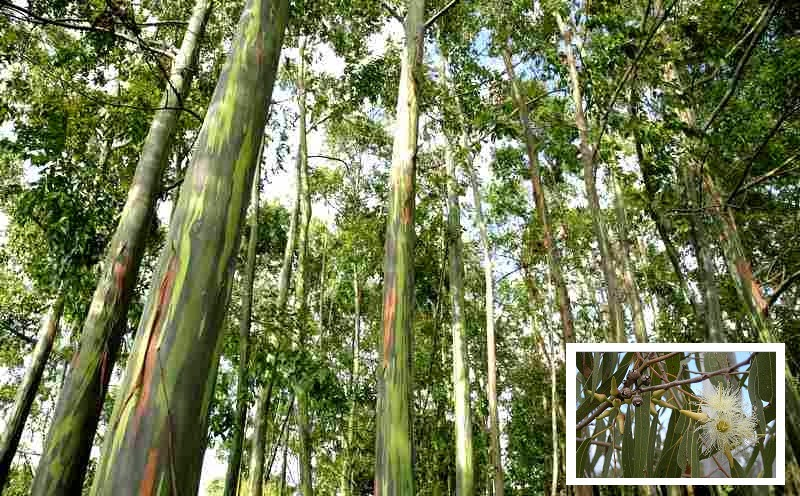 Eucaliptus_sp.
