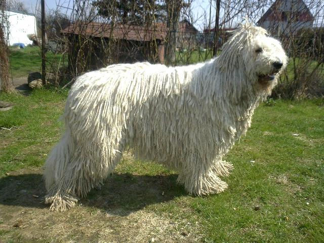 Funny Animals: Funny Komondor Dog, Komondor Dog Komondor Dog Pictures
