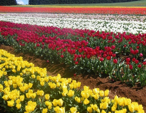 Tulip Flower Tulips The Best Time To Plant Tulip Bulbs