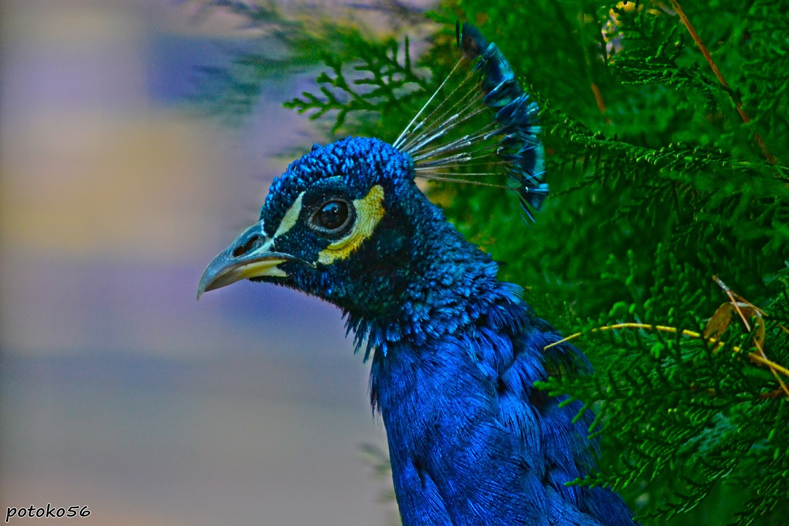 Pavo real parque del mayeto galer a de im genes de potoko56 - Fotos de un pavo real ...