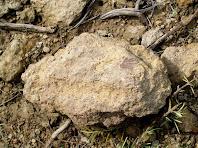 Fòssils de petxina al voltant dels camps de Can Vidal