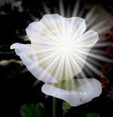 Rosa Branca