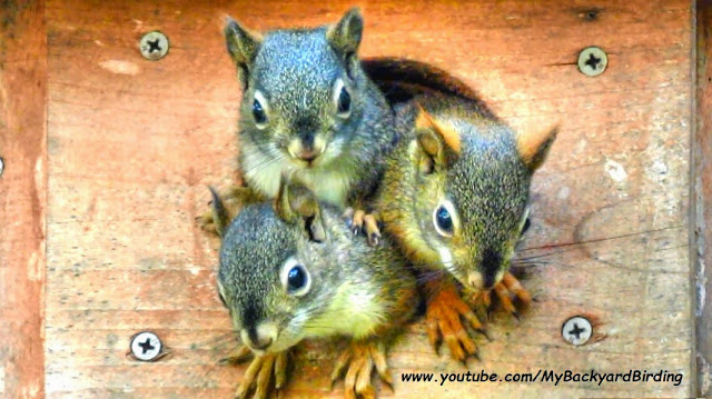Funniest and Cutest Baby Squirrels in owl nest box