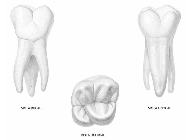 Tutorial Anatomía Cabeza y Cuello: PRIMER MOLAR SUPERIOR PERMANENTE