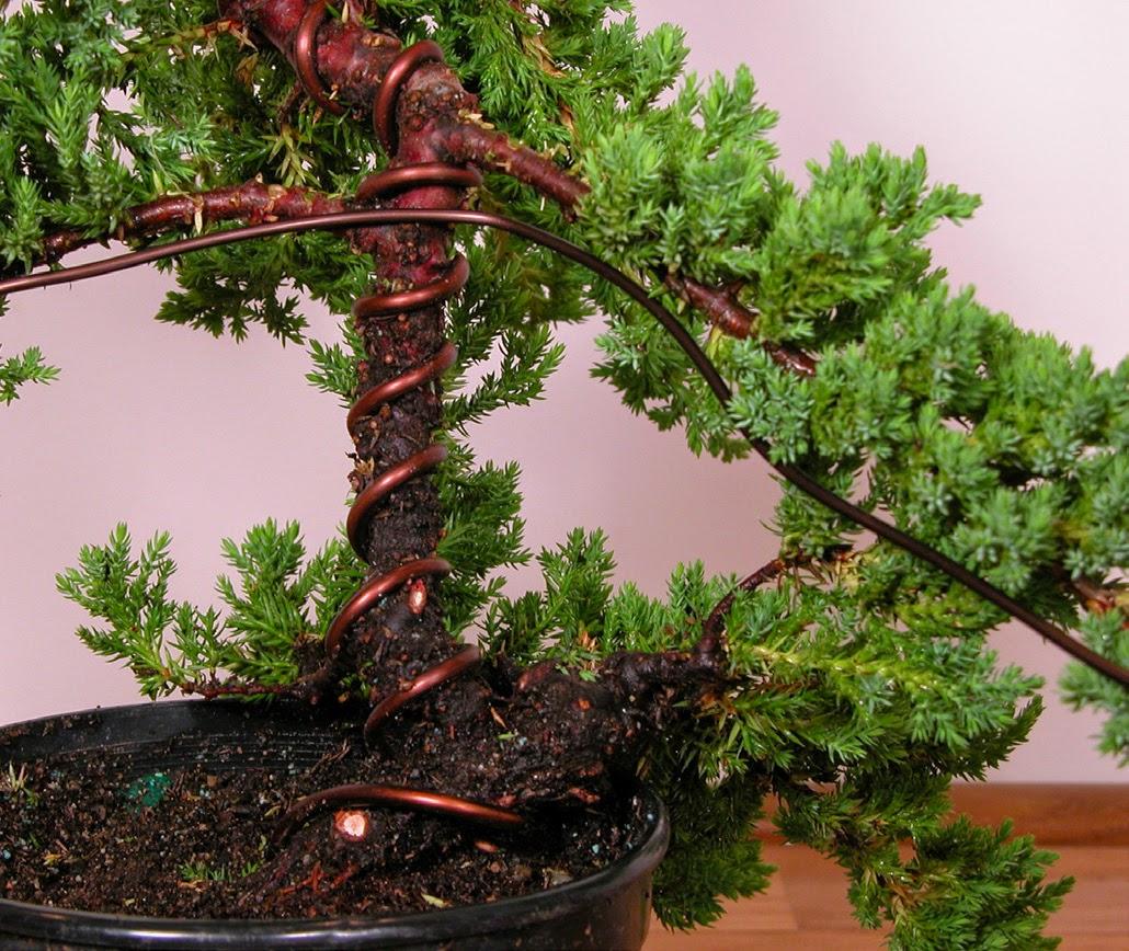 Bonsai Tree Step Three Detail Pruning Amp Shaping