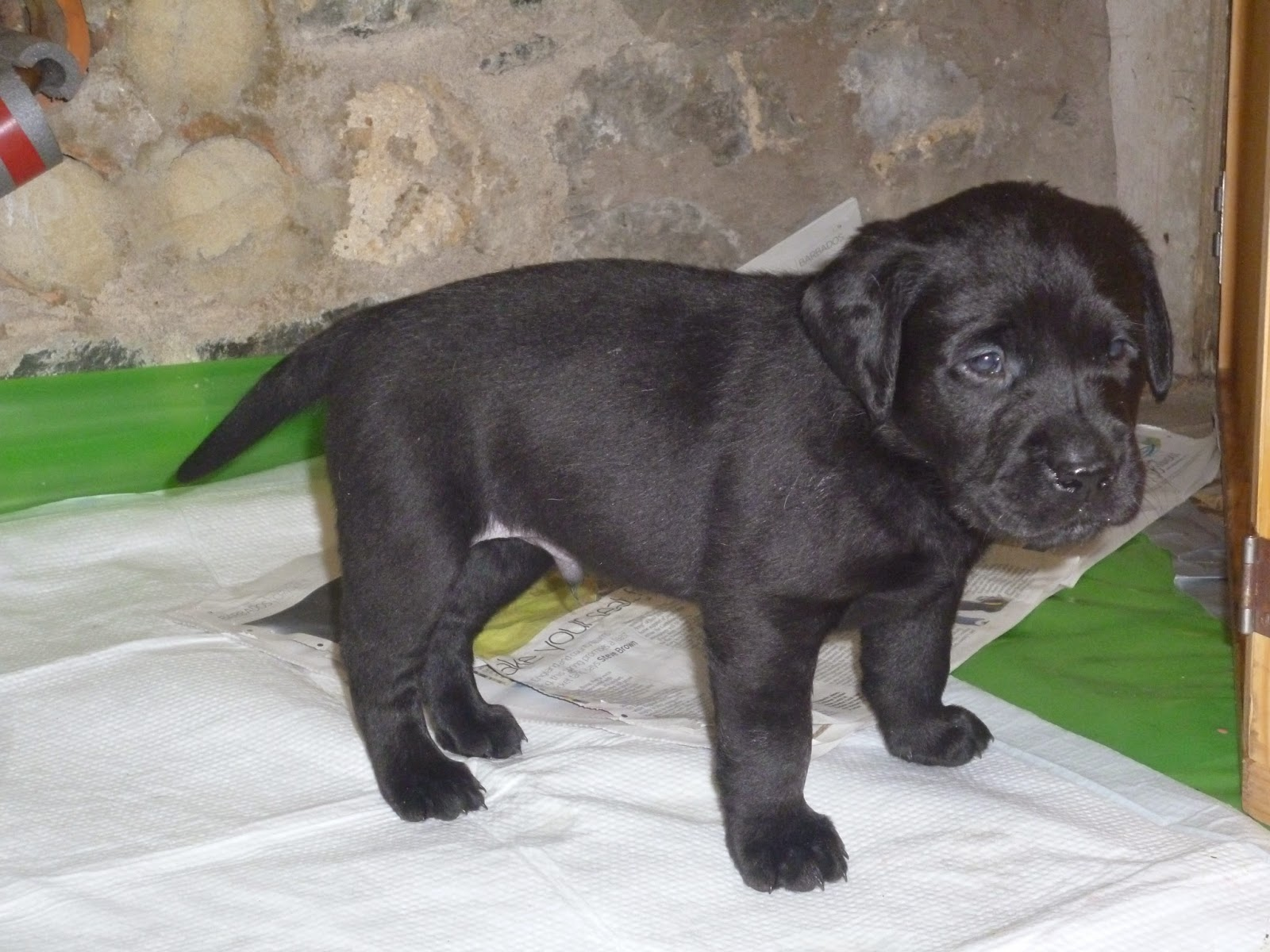 Scottish Gamekeepers Association News Fife Lab Pups For Sale