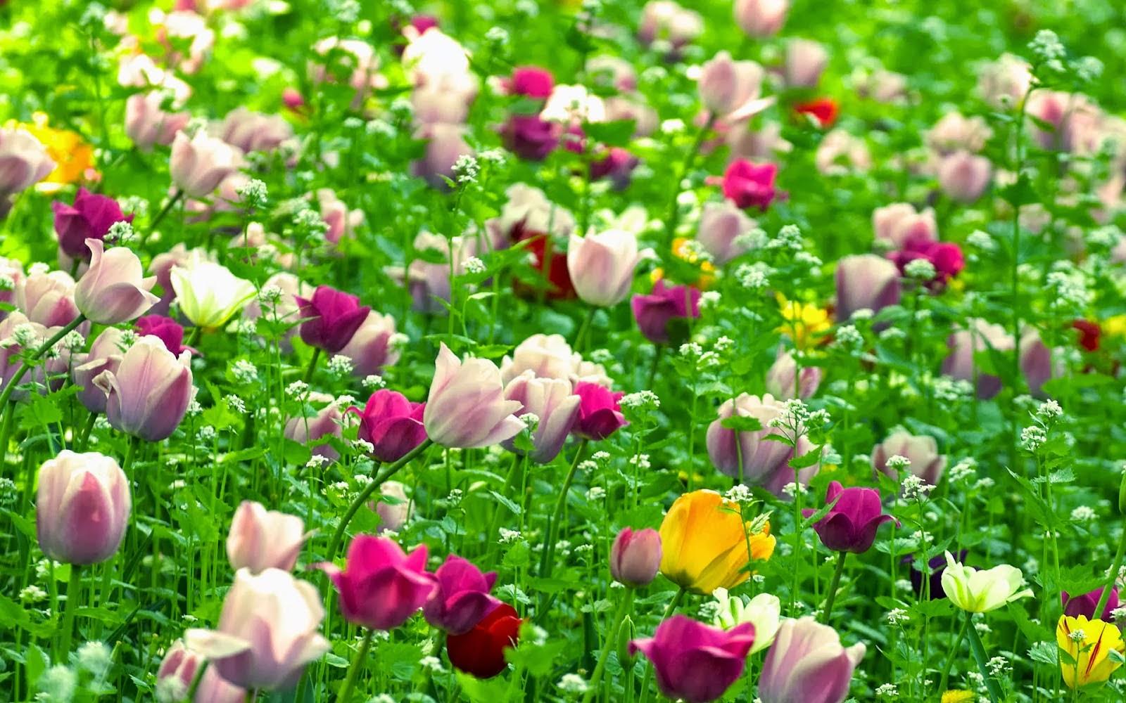 tulpen achtergrond met een - photo #7