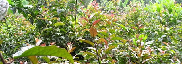 vườn cây xạ đen