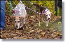 Dog leading blind dog on leash