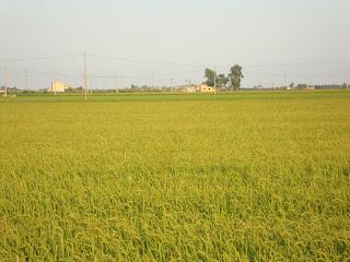 Rice Field Photo - Sant Carles de La Rápita - Tarragona
