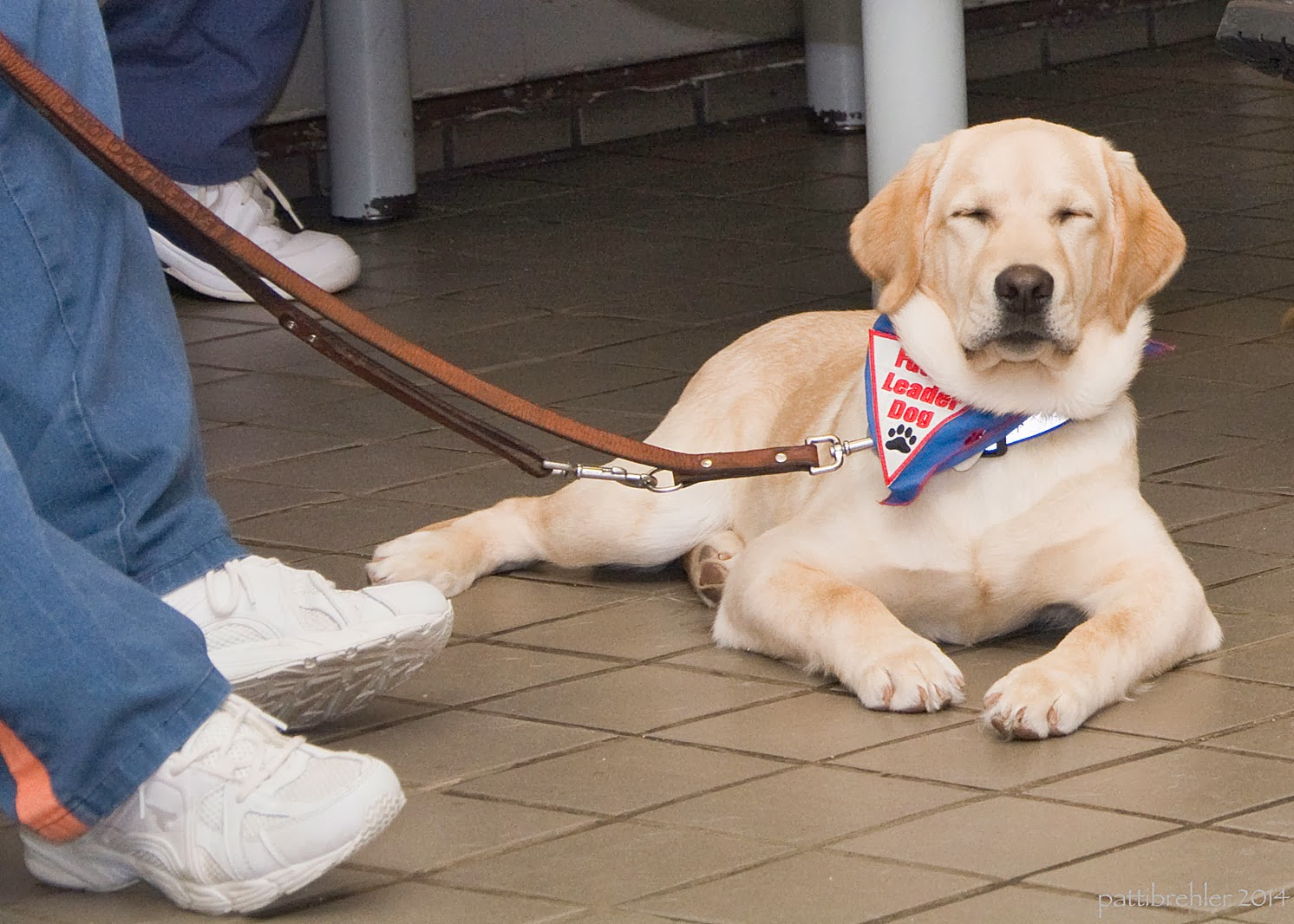A full-sized yellow lab is lying on a light brown tile floor facing the camera. She is wearing a blue bandana with a white triangle patch with red letter that say Future Leader Dog and a black paw print. Her brown leather leash is being held by a man off camera to the left, except for his lower legs and feet. He is wearing the blue pants with an orange  stripe down the side and white tennis shoes.