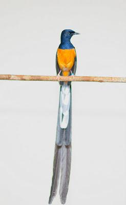 burung murai burung ini merupakan salah satu burung dengan banyak