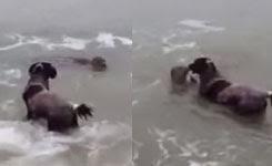 Zeehond speelt met hond/ seal plays with dog