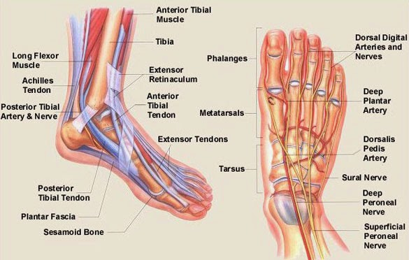 foot anatomy – citybeauty, Human body