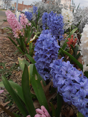 Hyacinths and Dusty Miller