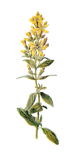 botanical image wildflower illustration