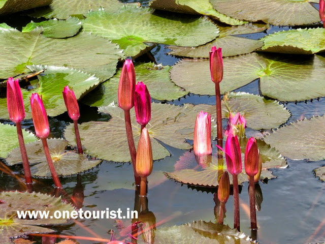 lotus pond in mayabunder