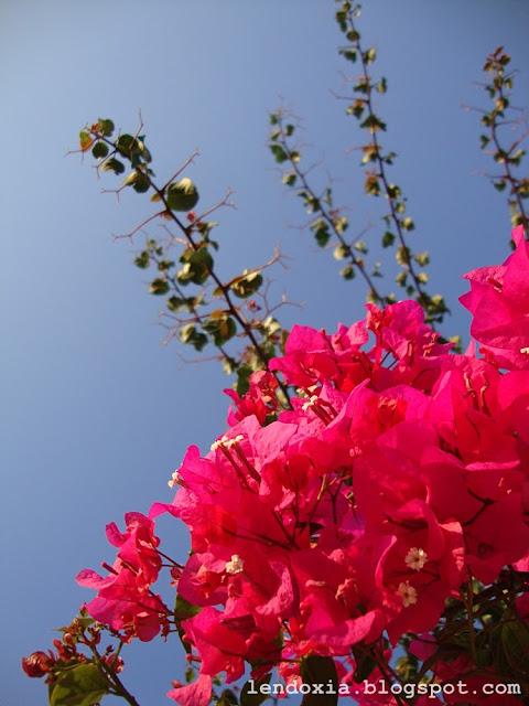 fuksija rozi cvjetovi