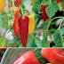 How to grow mariachi peppers