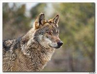 Salvemos al lobo ibérico