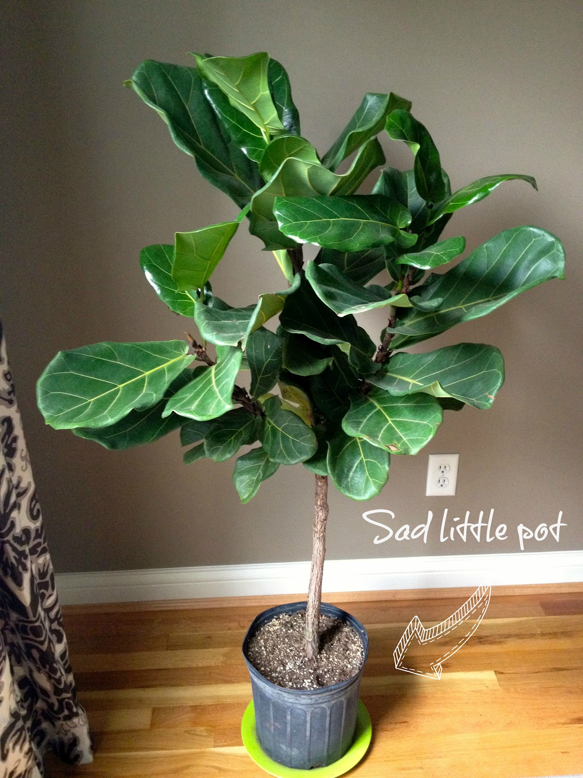 Fiddle Leaf Fig Old Pot