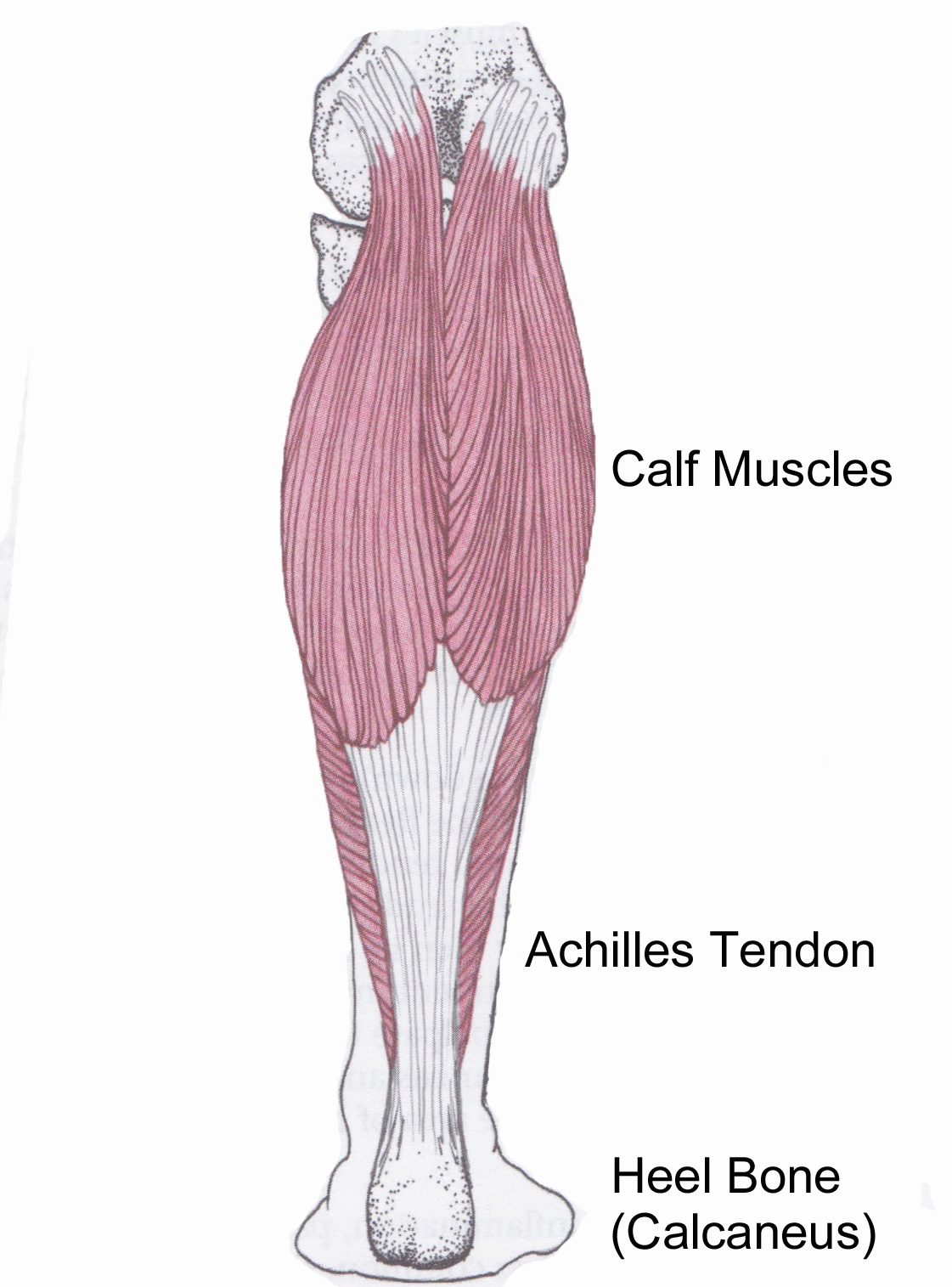 Thomas\' Blog: ACHILLES TENDON
