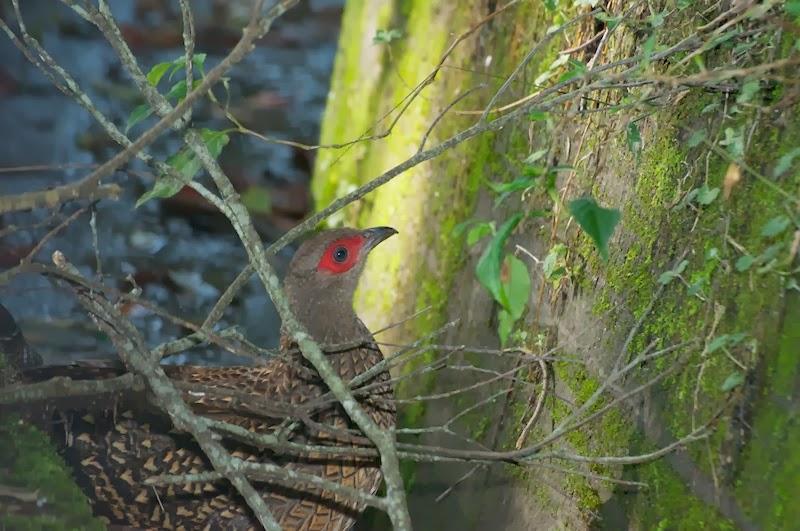 Swinhoe's Pheasant (Lophura swinhoii)