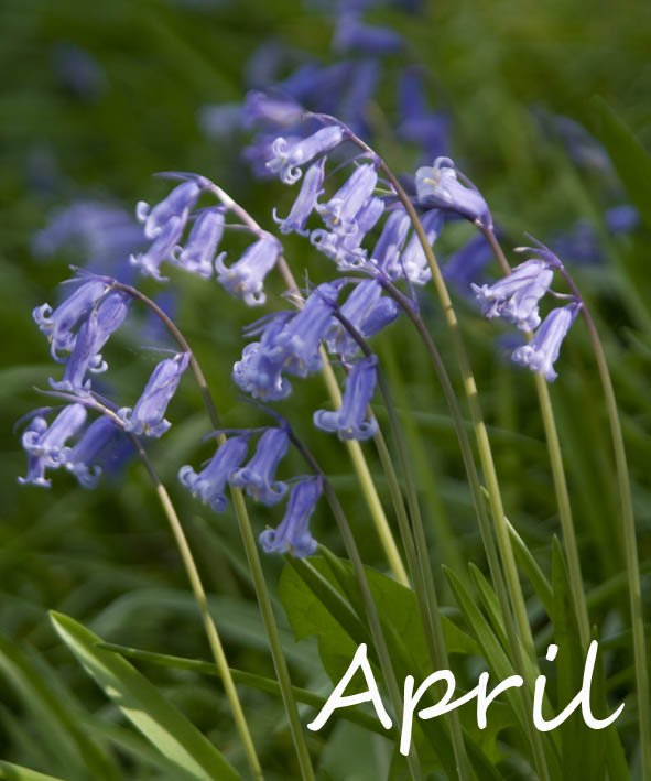 What Is The Flower For April: SophiEco Wild: April