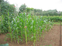 baby-corn and sweetcorn