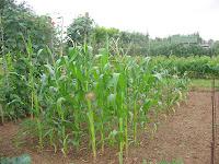 baby-corn and sweetcorn