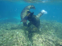 Sea Lions Swimming and Playing in the Galapagos Islands tropical waters