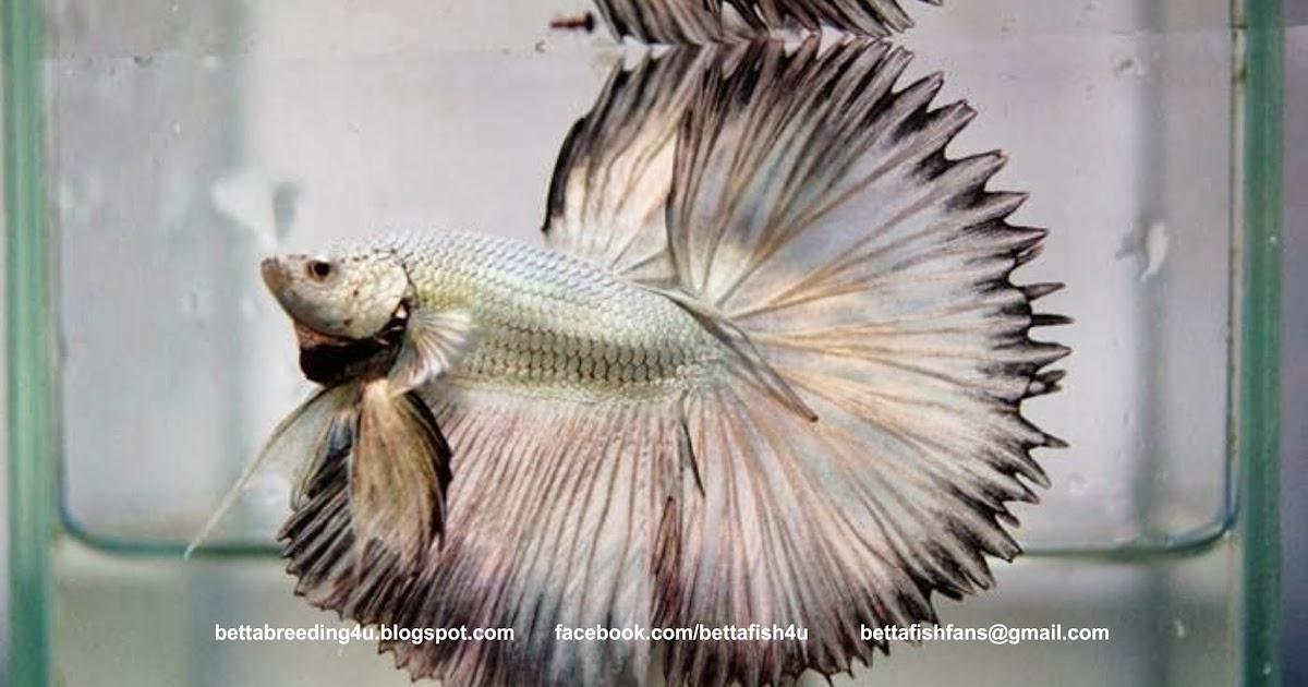All about betta fish halfsun betta fish for All about betta fish
