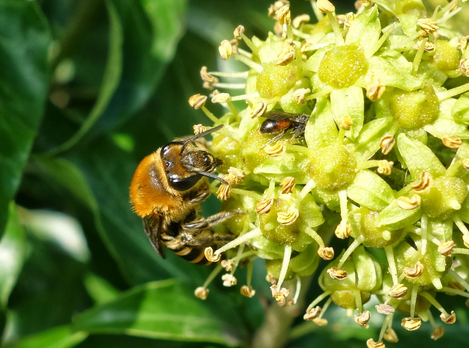 Urban Pollinators Ivy Hedera Spp An Important Food Source For