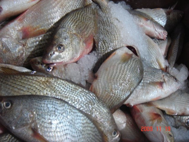 Blog fuad informasi dikongsi bersama us fresh fish guide for What is a croaker fish