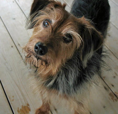 Yorkie. A undersized dog that is heartier than the orthodox Yorkie ...