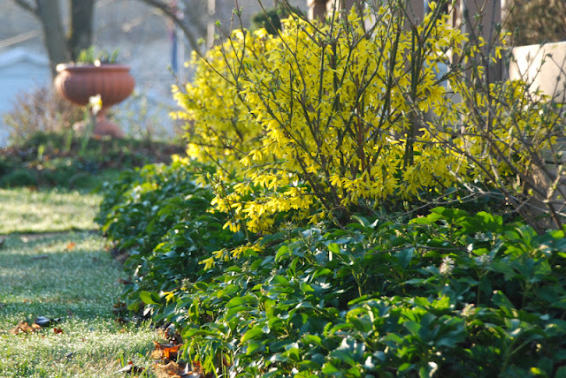 Forsythia shrub under-planted with Pachysandra terminalis for a finished looking spring combination.