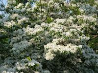 モクセイ科の「トネリコ(別名タゴ)」に似ていて『一つ葉タゴ』は単葉であり、この和名がついた。