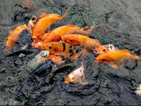 Memancing memang dikala ini banyak dilakukan oleh banyak orang alasannya ialah memancing memang adal Nah ! Racikan Umpan Mancing Ikan Mas Terbaik, Sudah Dari 100 Tahun Lalu