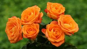 gambar_bunga_mawar_oranye